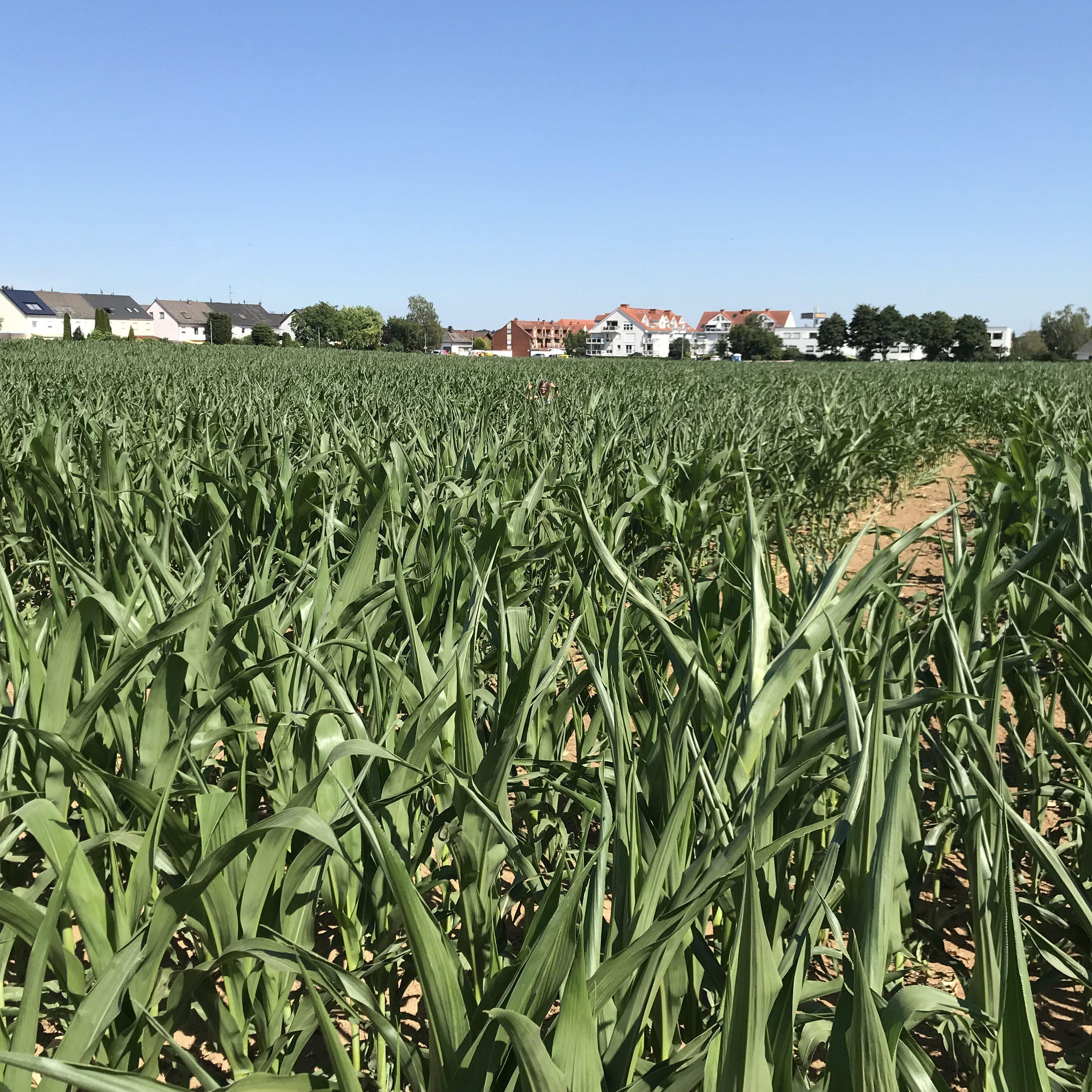 Wenn ich groß bin, werde ich Maislabyrinth...